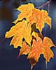 Maple leaves in fall color. (c) Rob Kleine. All Rights Reserved. www.gentleye.com